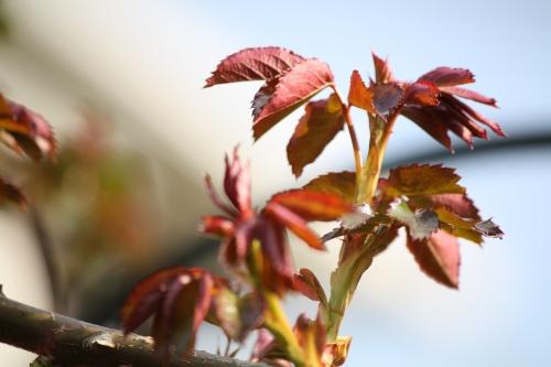 薔薇の新芽